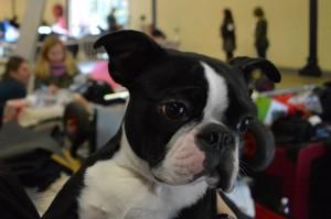 Jango, très calme, fait ses premiers pas en exposition canine.