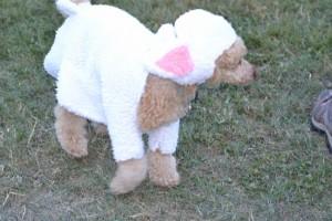 Avec la chaleur qu'il fait aujourd'hui, un peu chaud ce costume de mouton !