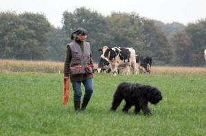 Krokus de Dasilva et Chantal, sous le regard curieux de la gente bovine. Pour un challenge SERVET, cela s'imposait !