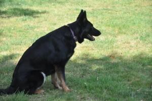 Jédaï, la chienne Berger Allemand de Estelle.